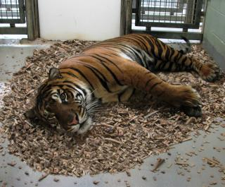 Tiger using Bedder Animal Bedding